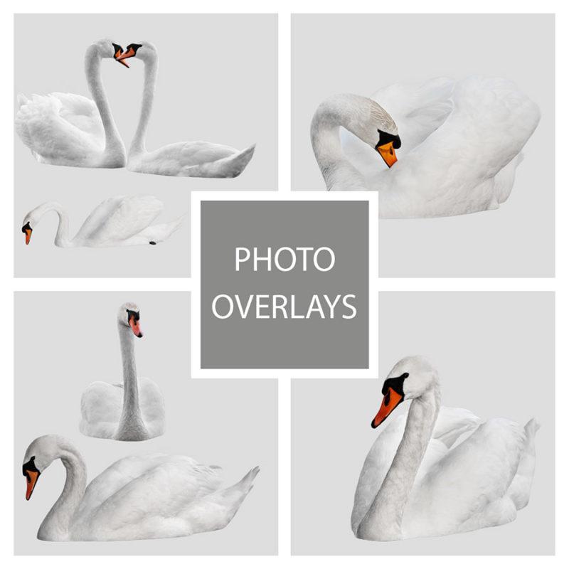 labedzie-biale-nakladki-fotograficzne-photoshop-edycja-zdjec-1